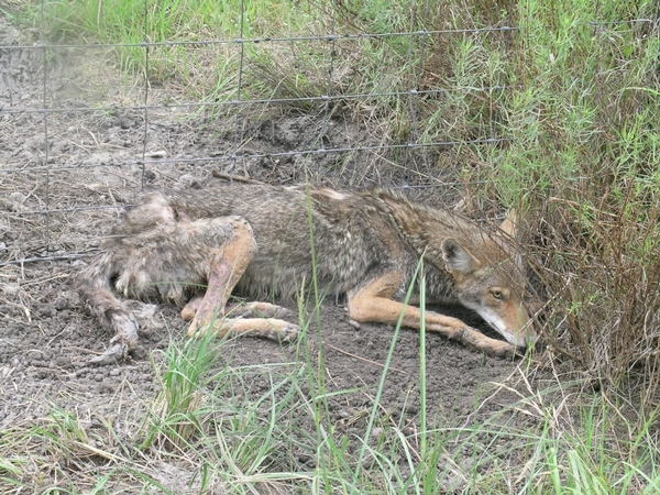 Coyote Management & Recommendations
